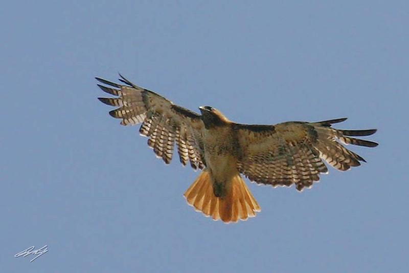 Red-tailed Hawk, Mexico (Fumosus) sub-sp, San Bernardino, California.