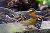 Varied Thrush, Portland, Oregon.