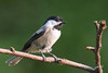 Black-capped Chickadee, Lansing, Michigan.