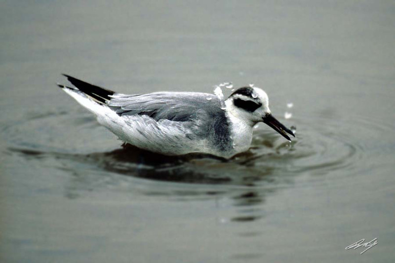 Red Phalarope, Siletz Bay, Gleneden, Oregon.