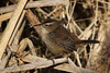 Marsh Wren, Humboldt Bay NWR, California.