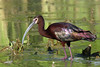 White-faced Ibis, Mendota State Park, Los Banos, California.