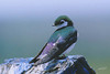 Violet-green Swallow, male, Highway, Bickleton, Washington.