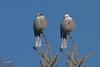 "Gray Jay, Elk Ridge Road, Enterprise, Oregon. Same bird, two photos ""shopped"" ..."