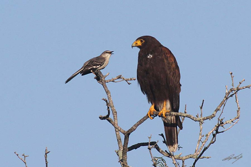 Harris's Hawk being mocked by a Northern Mockingbird, Weaver Cattle Company, Raymondville, Texas.