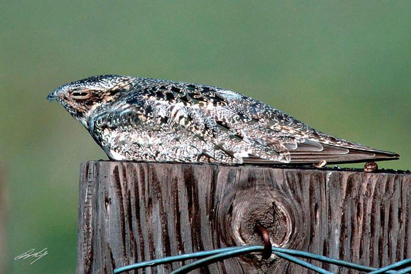 Common Nighthawk, Hwy 205 south of Burns, Oregon.
