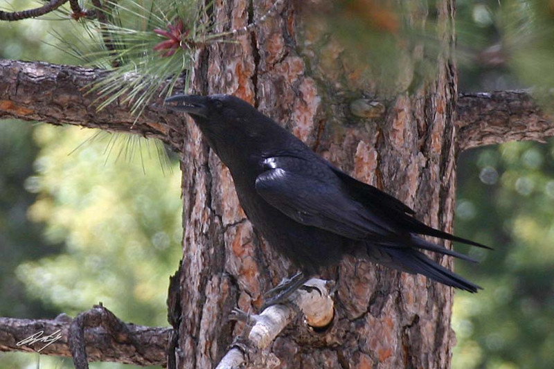Common Raven, Manker Flats, Mt. Baldy, California.