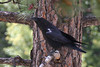 Common Raven, Manker Flats, Mt. Baldy, California.