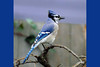 Blue Jay, near SE 162nd and Burnside, Portland, Oregon.