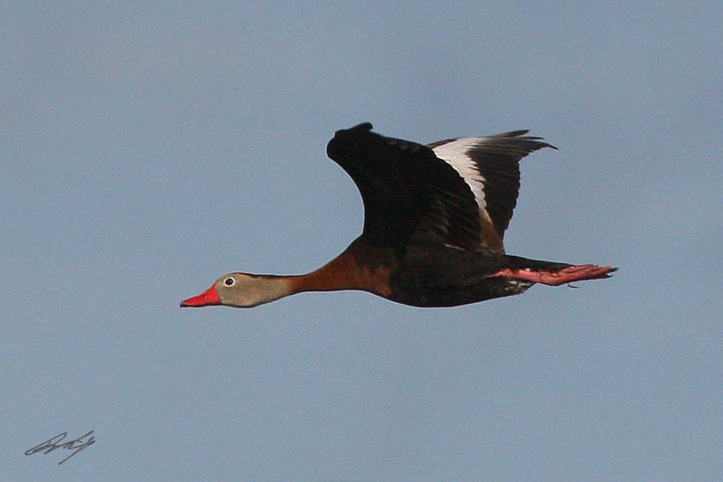 Black-bellied Whistling-Duck, South Padre Island Birding and Nature Center, Texas.