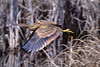 American Bittern, Turnbull NWR, Cheney, Washington.