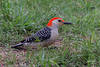 Red-bellied Woodpecker, Salt Plains NWR, Cherokee, Oklahoma.