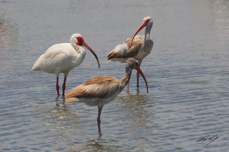 White Ibis, Laguna Atascosa NWR, Texas.