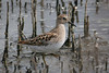 Least Sandpiper, Fernhill Wetlands, Forest Grove, Oregon.
