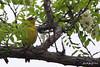 Tennessee Warbler, Salt Plains NWR, Cherokee, Oklahoma.