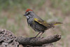Green-tailed Towhee, Cabin Lake, Oregon.