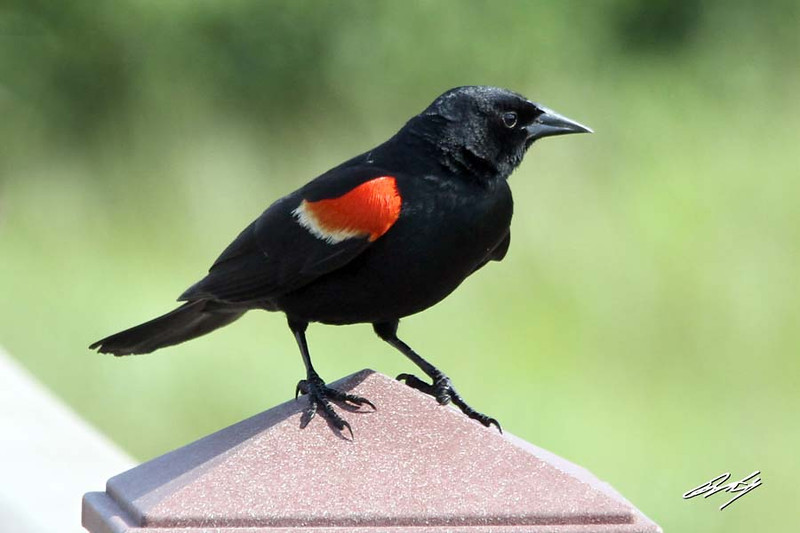 Red-winged Blackbird, male, South Padre Island Birding and Nature Center, Texas.