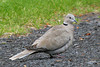 Eurasian Collared-Dove, Malheur NWR, Burns, Oregon.