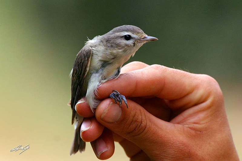 Western Warbling-Vireo, Andrew Molera State Park, Big Sur, California. Mist-net capture for banding.