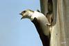 Violet-green Swallow, female, Fish Hatchery Road, Enterprise, Oregon.