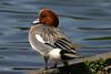Eurasian Wigeon, male, Westmoreland Park, Portland, Oregon.