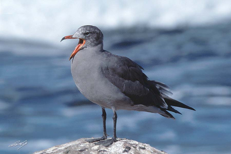 Heermann's Gull, Cyprus Point, Pebble Beach, California.
