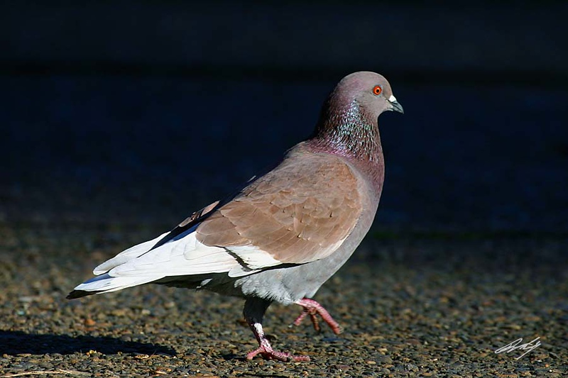 Rock Pigeon, Laurelhurst Park, Portland, Oregon.