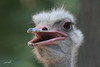 Ostrich, Potter Park Zoo, Lansing, Michigan.