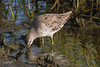 Pectoral Sandpiper, South Padre Island Birding and Nature Center, Texas.