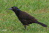 Common Grackle, City Park, Broken Bow, Oklahoma.