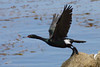Pelagic Cormorant, Monterey Bay Park, Monterey Bay, California.
