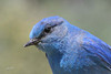 Mountain Bluebird, male, Cabin Lake, Oregon.