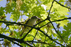 Cassin's Vireo, Fort Simcoe State Park, White Swan, Washington.