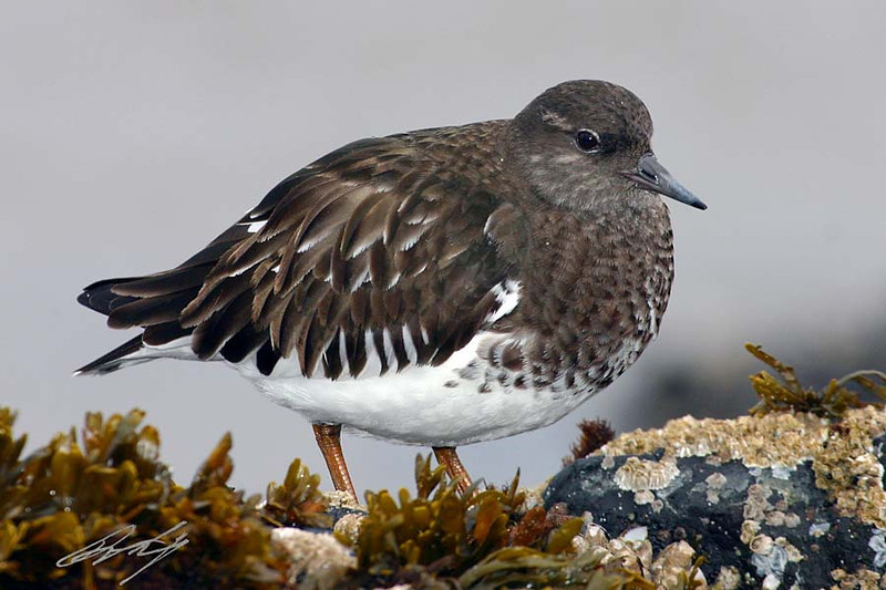 Black Turnstone, Lincoln City, Oregon.