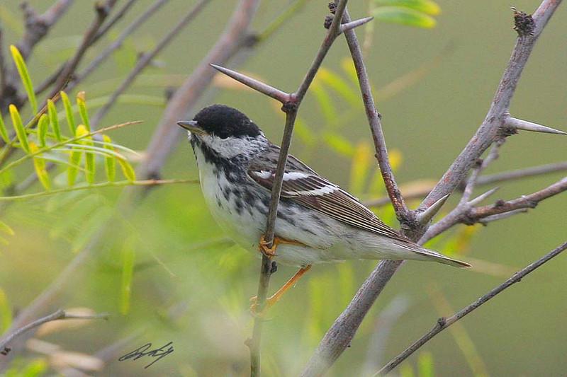 Blackpoll Warbler, Matagorda Island NWR, Texas.