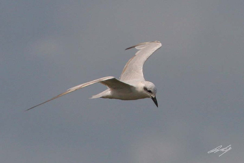 Bonaparte's Gull, San Bernard NWR, Freeport, Texas.