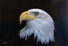 Bald Eagle, captive because of injuries. World Center for Birds of Prey, Boise, Idaho.