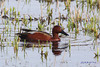Cinnamon Teal, male, Ridgefield NWR, Washington.