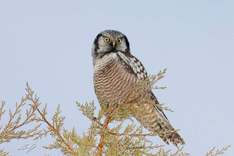 Northern Hawk Owl, near Bend, Oregon.