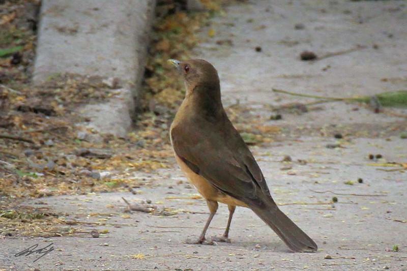 Clay-colored Robin, Santa Ana NWR, Pharr, Texas.