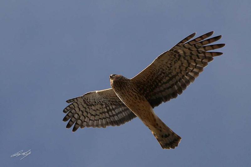 Northern Harrier (fka Marsh Hawk), Humboldt Bay NWR, California.
