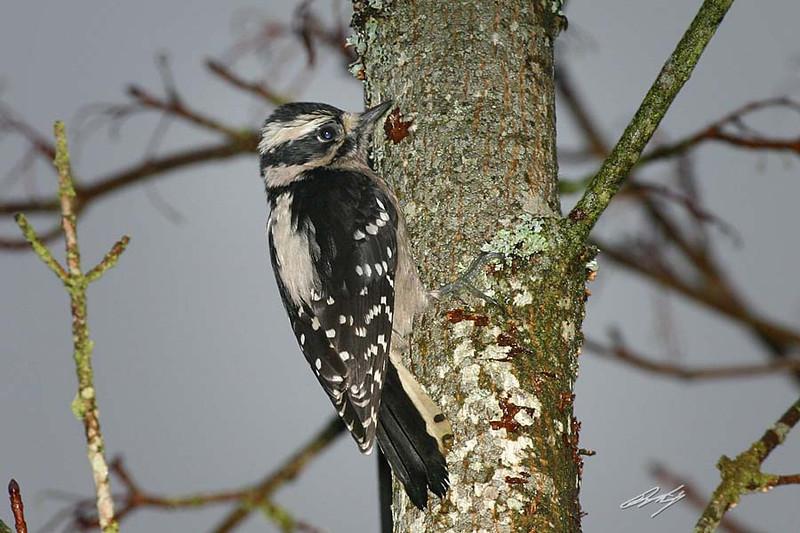 Downy Woodpecker, female, Olympia, Washington.