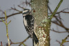 Downy Woodpecker, female, Olympia, Washington.