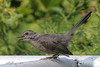 Gray Catbird, Bay City State Recreation Area, Bay City, Michigan.