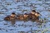Ruddy Duck chicks, Ridgefield NWR, Washington.