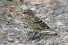 Yellow-rumped Warbler, Myrtle, female, Bay City State Recreation Area, Bay City, Michigan.