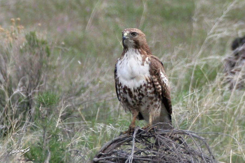 Ferruginous Hawk, North Diamond Loop Road, Diamond, Oregon.
