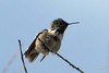 Calliope Hummingbird, Conconully, Washington.