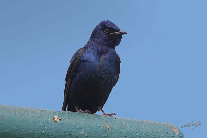 Purple Martin, male, Cherokee, Oklahoma.