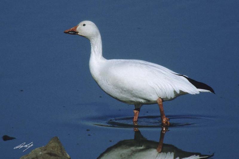 Lesser Snow Goose, Fernhill Wetlands, Forest Grove, Oregon.